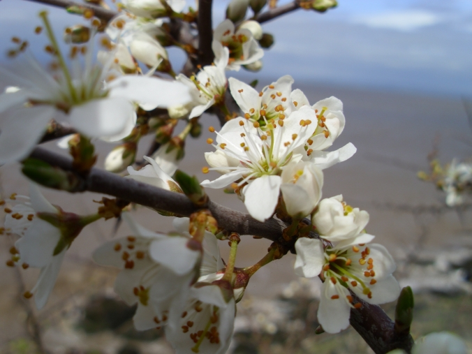 Sloe flowers, delicately delicious as they are or an almond flavoured ingredient in sloe syrup