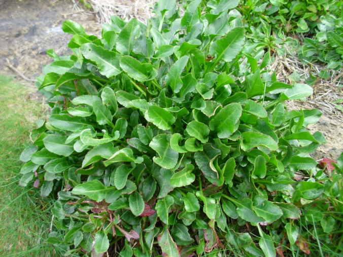 Sea spinach really offers the opportunity for bulk