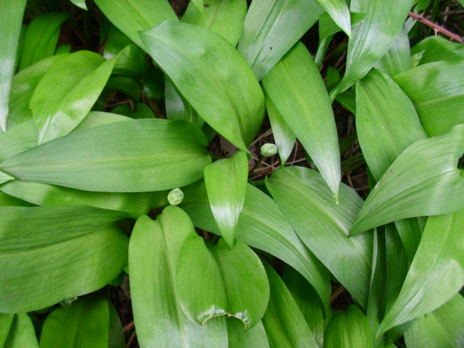 The lush leaves of ramsons, flower buds indicates that the time for picking is nearly over
