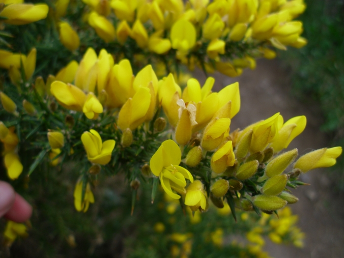 The wonderfully summery coconut flavour of furze/gorse is irresistible