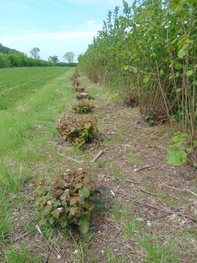 Scientific agroforestry trials at the Organic Research Centre in Suffolk point towards the greater productivity of perennial systems.