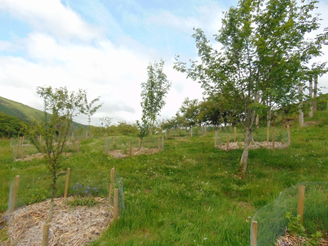 The beginnings of a forest garden at Blaeneinion, Wales. Spacing is sufficient for a productive understory.