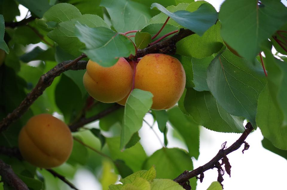 apricots-1502229_960_720