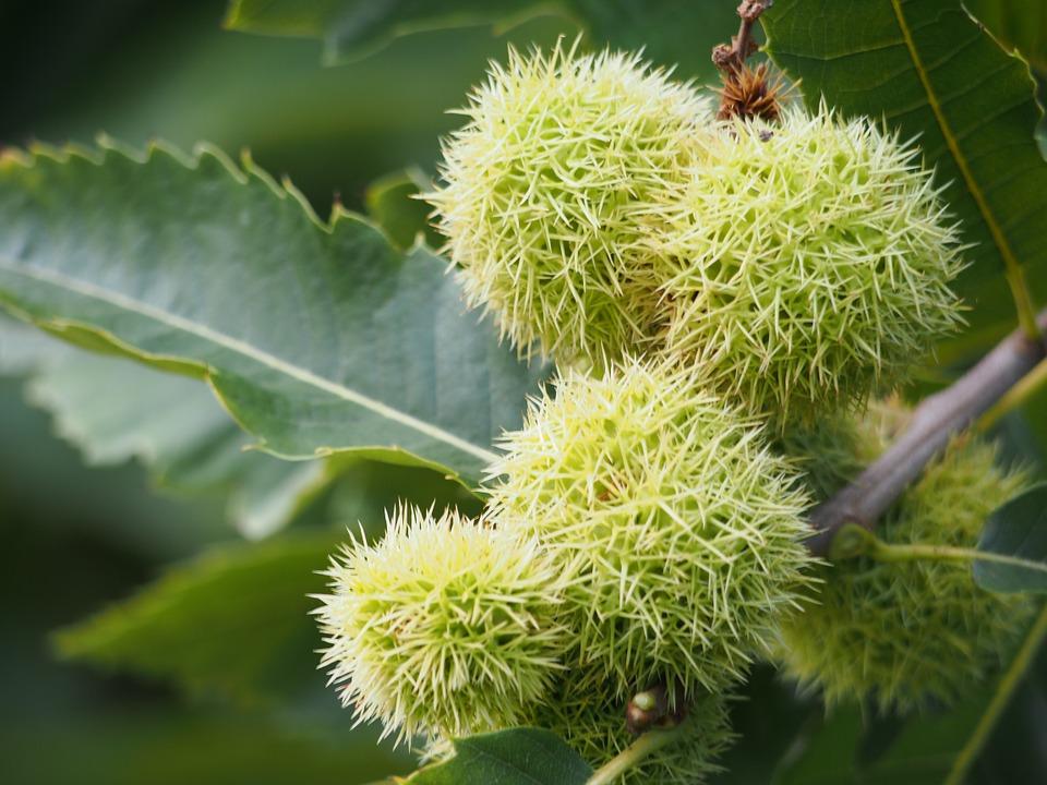 sw chestnut